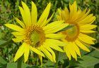 *** Sonnenblumen ***
