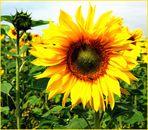 """ Sonnenblumen "" - das Wunder der Ästhetik"
