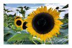 Sonnenblumen die II