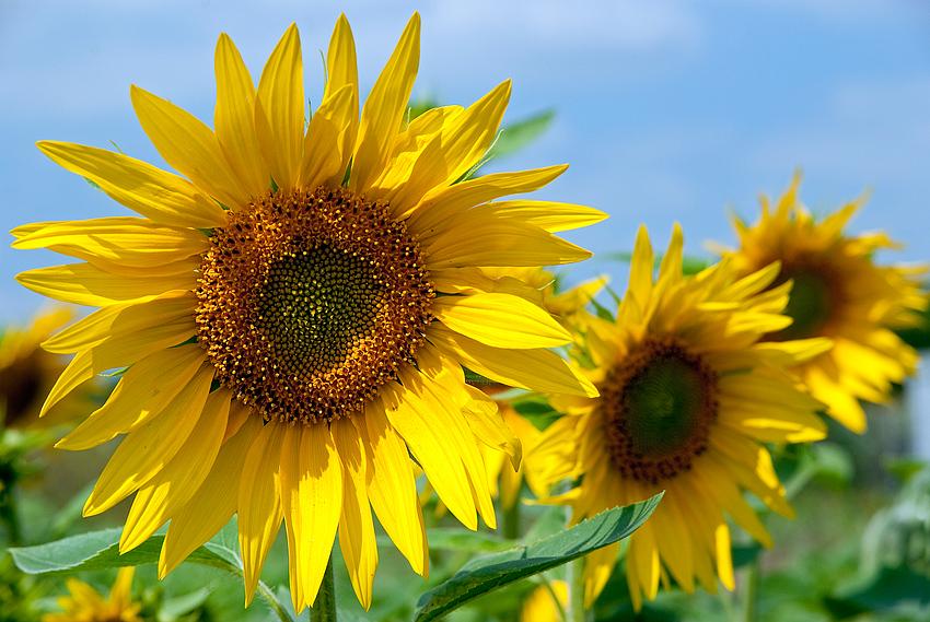 Sonnenblumen - die x-te