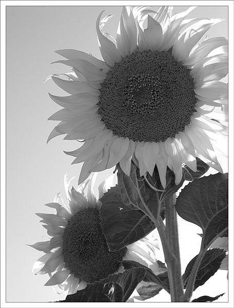 Sonnenblumen einmal anders....