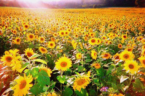 Sonnenblumen Feld am Benther Berg