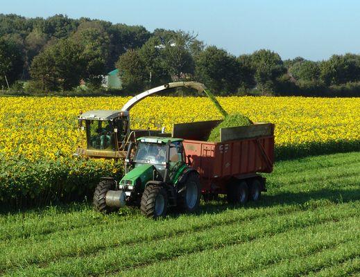 Sonnenblumen für Biogas, Detail I