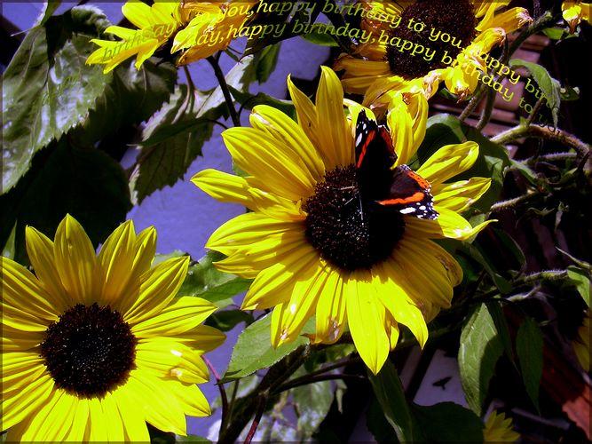 sonnenblumen für den Geburtstag von Sylvia