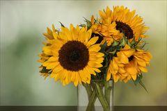 Sonnenblumen ~ Helianthus....