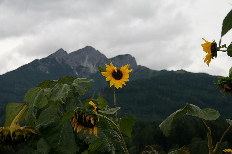 Sonnenblumen Herbstdepression