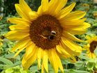 Sonnenblume(n) im Garten von Schloss Trautmansdorf (Meran, Italien)