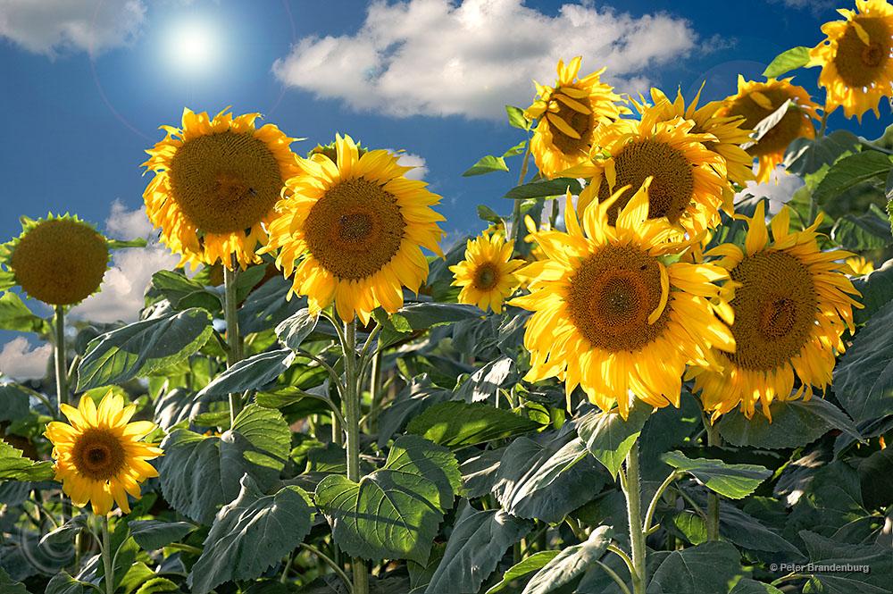 Sonnenblumen im Herbstlicht