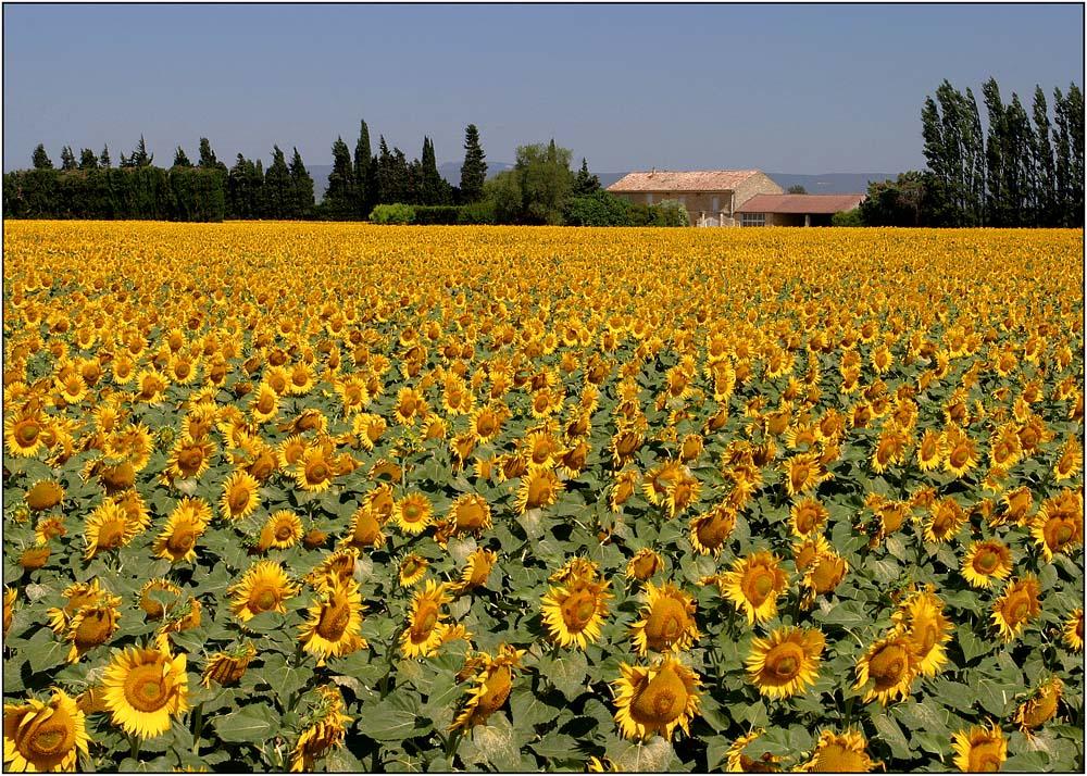 Sonnenblumen im Rhône-Tal