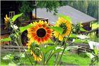 Sonnenblumen im Ultental