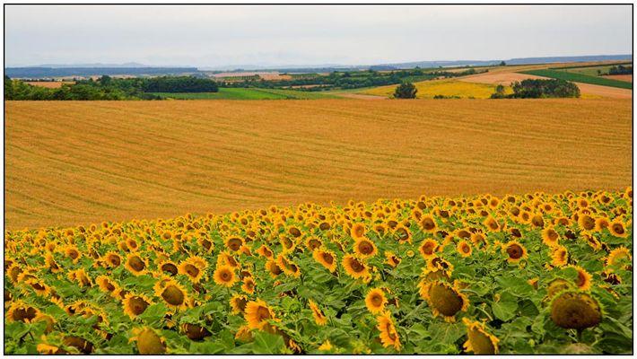Sonnenblumen im Weinviertel