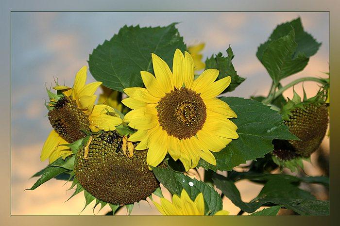 Sonnenblumen in Abendstimmung