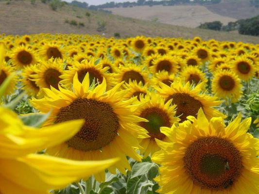 Sonnenblumen in Andalusien