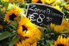 Sonnenblumen in Castricum