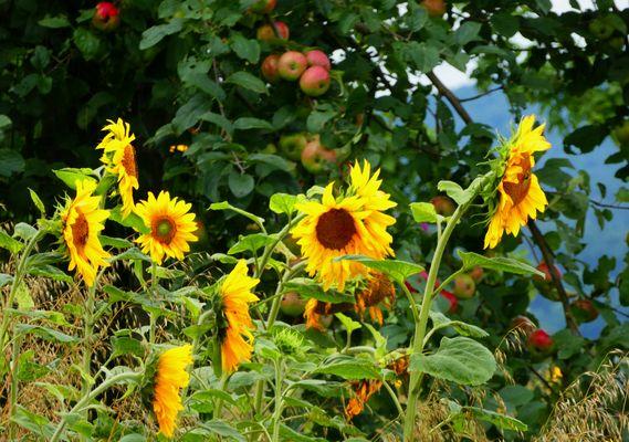 Sonnenblumen in der Apfelplantage