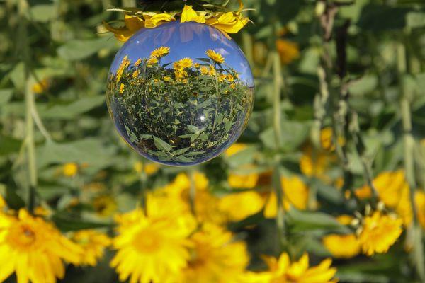 Sonnenblumen in der Glaskugel