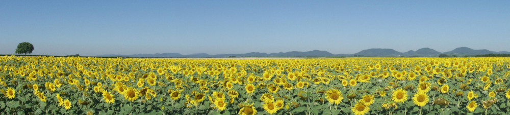 Sonnenblumen in der Südpfalz