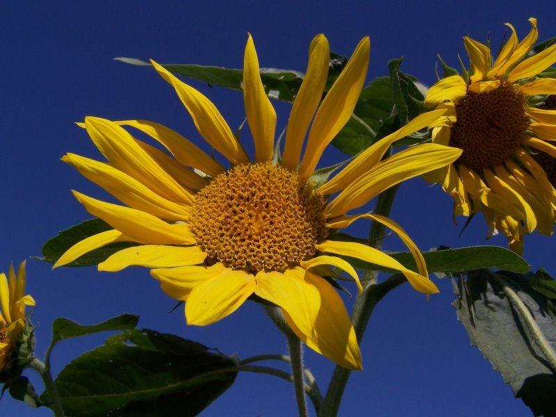 Sonnenblumen made in Ukraine