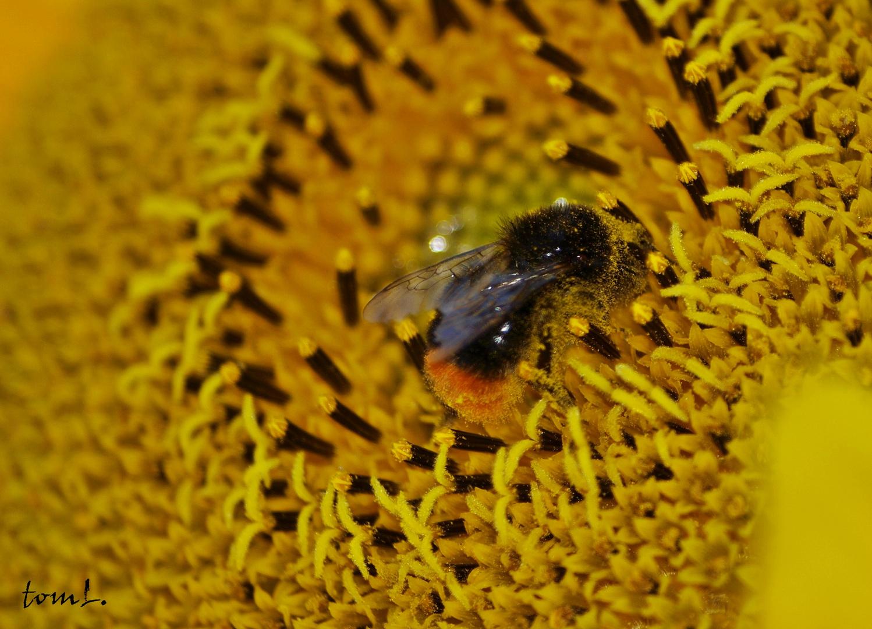 Sonnenblumen-McDrive