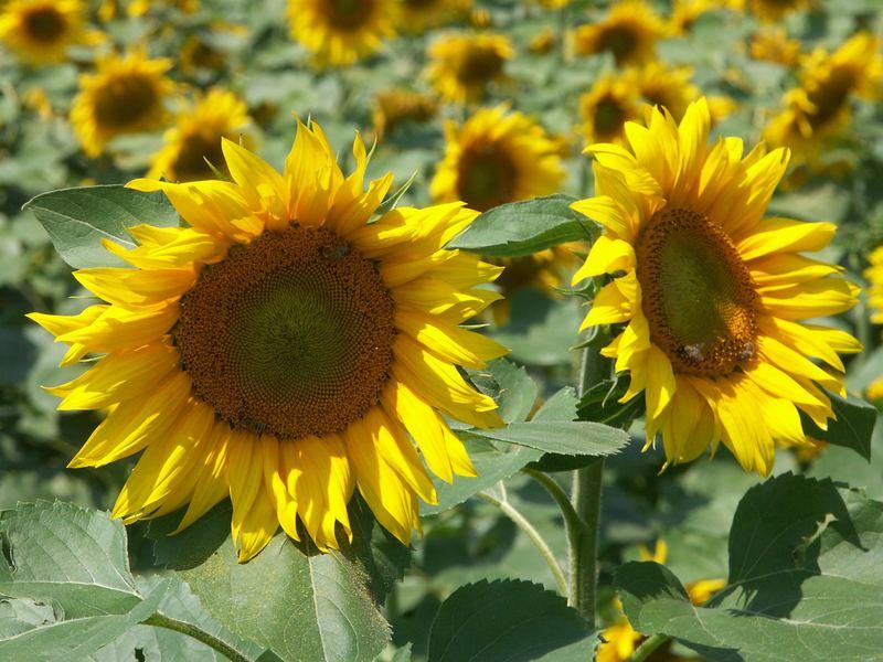 Sonnenblumen mit Bienen