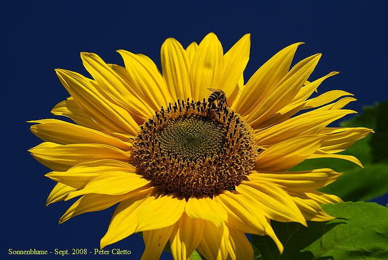 Sonnenblumen - Phantasieland