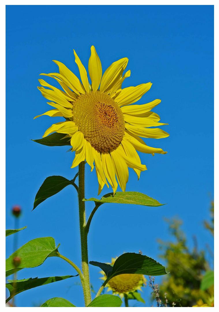 Sonnenblumen reifen heran....