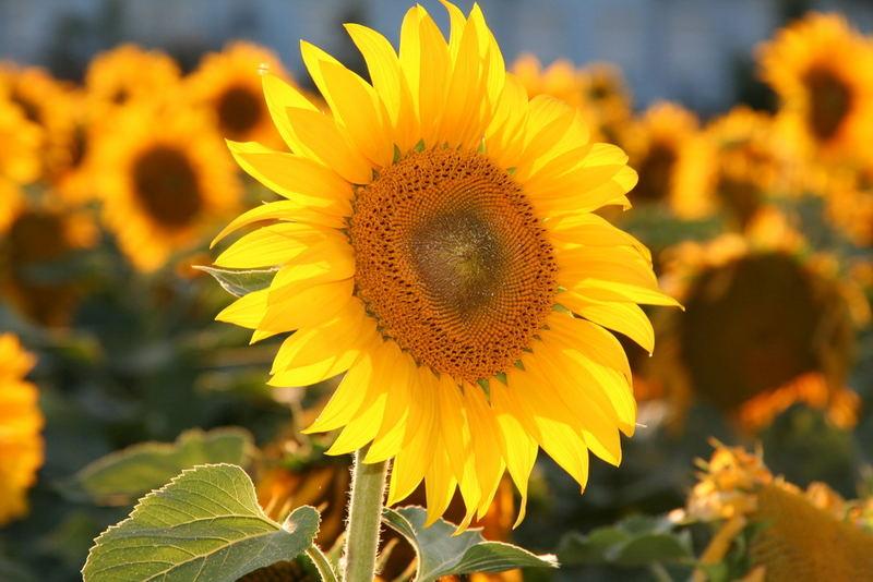 Sonnenblumen sind immer wieder ein foto wert :)