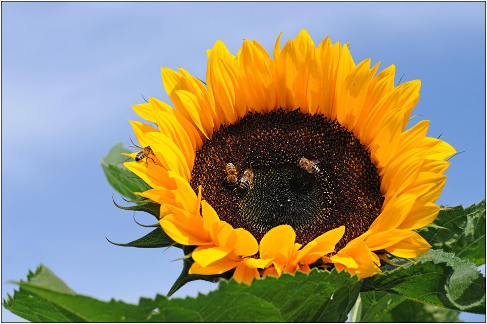 Sonnenblumen - Teller