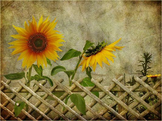 Sonnenblumen - überarbeitet