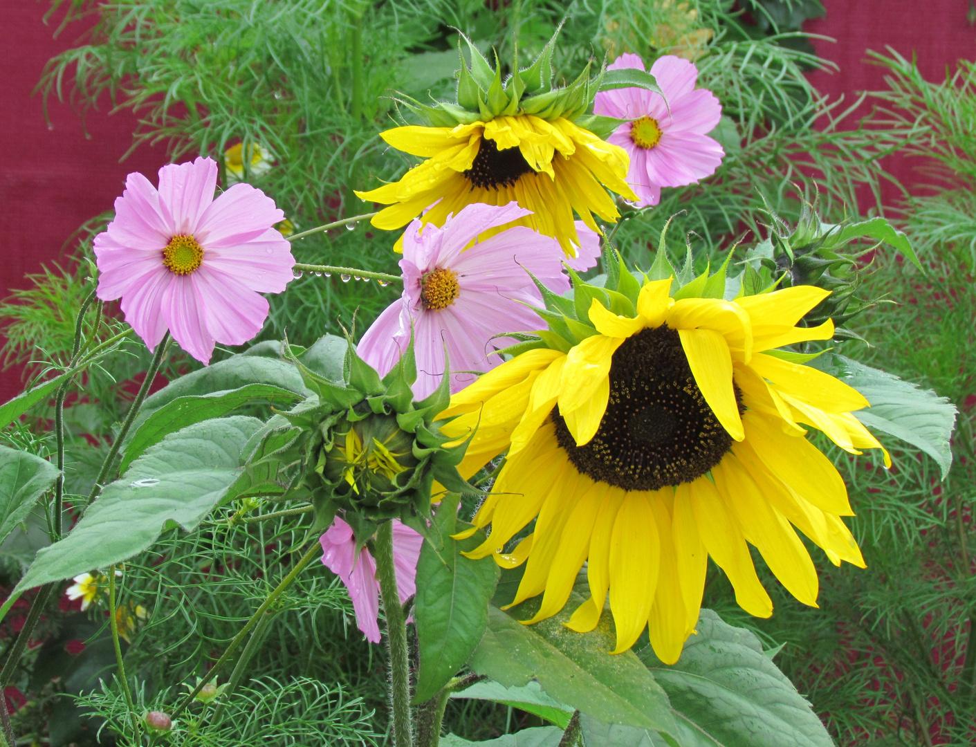 Sonnenblumen und Gespielingen