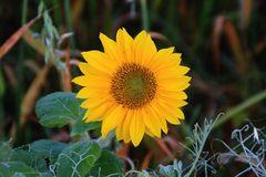Sonnenblumen und Herbstzauber