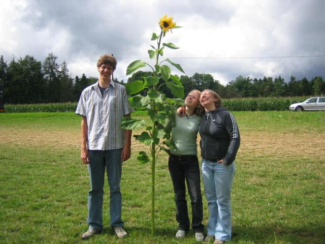 Sonnenblumen und Menschen