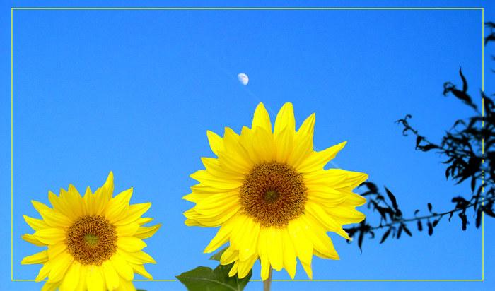 Sonne(nblumen) und Mond
