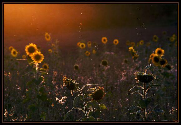 Sonnenblumen und Mücken