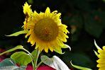 Sonnenblumen unter sich....