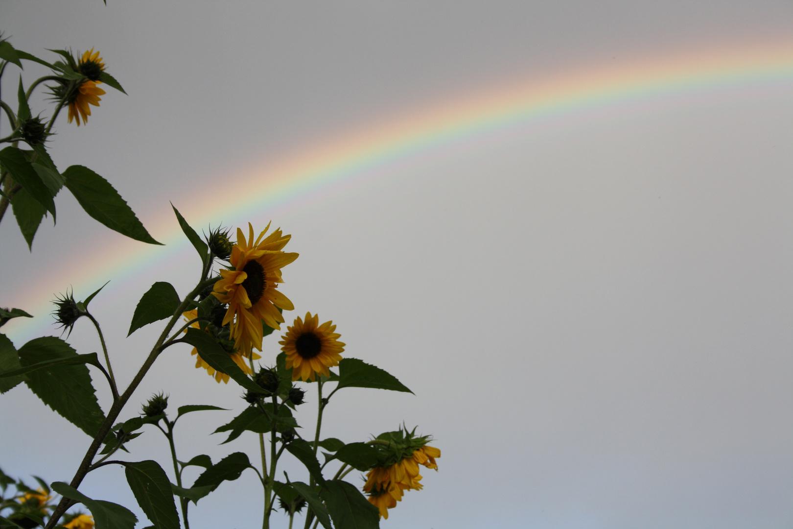 Sonnenblumen unterm Regenbogen