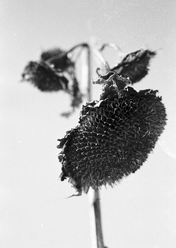 Sonnenblumen vom letzen Jahr
