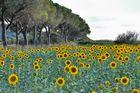 Sonnenblumen vor Pinien