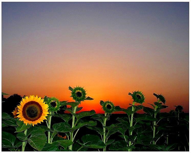 Sonnenblumen vor Sonnenuntergang