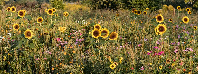 Sonnenblumen-Wiese