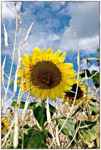 Sonnenblumen zaubern ein Lächeln auf jedes Gesicht