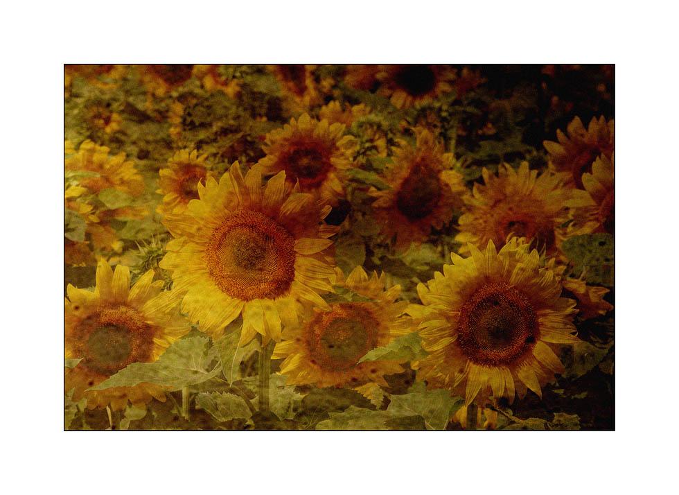 Sonnenblumen zum Fest