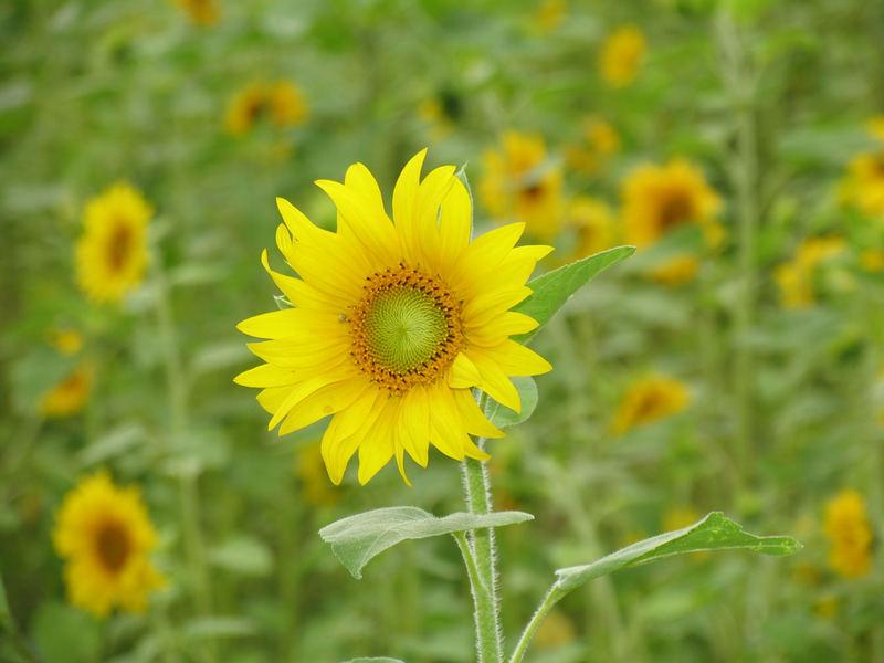Sonnenblumenanbau auf der Rheininsel Niederwerth