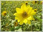 Sonnenblumenbesuch ...
