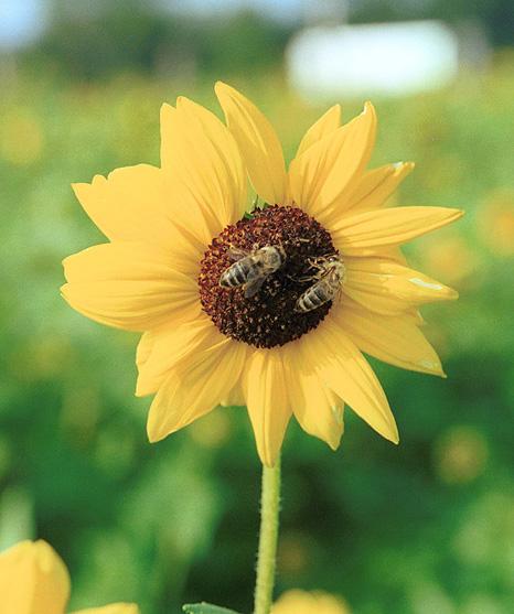 ***Sonnenblumenbienchen***