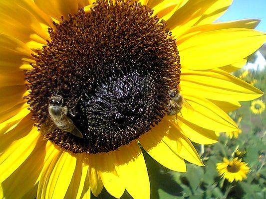 Sonnenblumen[bienen] aus Papenburg