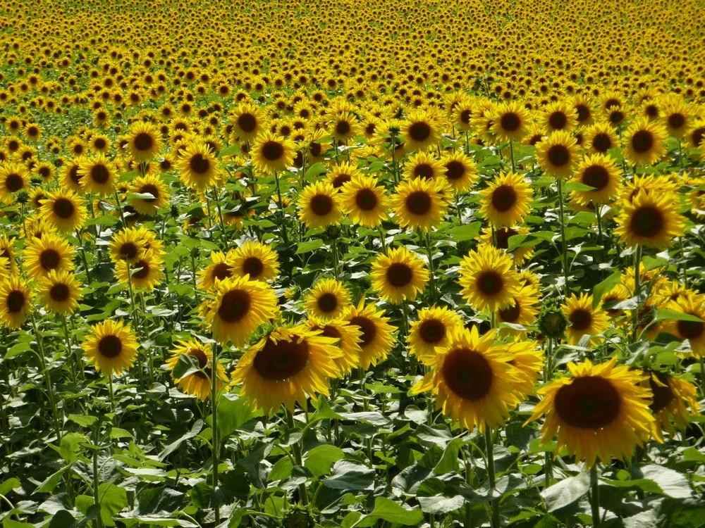 Sonnenblumenblütenfeld