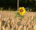 Sonnenblumenbrot anders