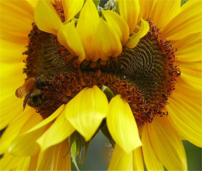 Sonnenblumenfehler  ?