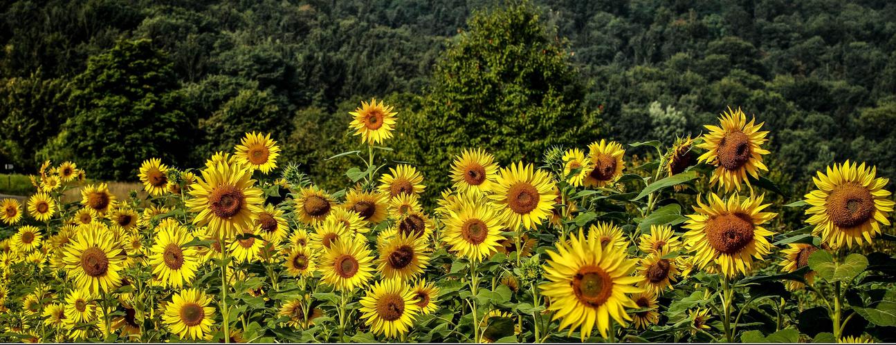 Sonnenblumenfeld.
